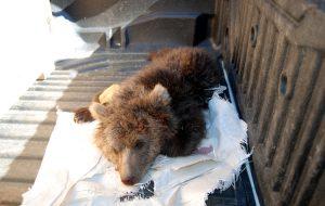 Köpekler, ayı yavrusunu öldürdü