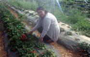 Bayramiç'te kadın üreticiden yıl boyu çilek