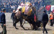 Başkan Uygun'dan deve güreşine davet
