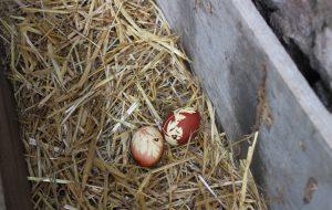 Maydanoz desenli yumurta gündem oldu