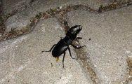 """Nadir görülen """"Geyik Böceği"""" Bayramiç'te görüntülendi"""