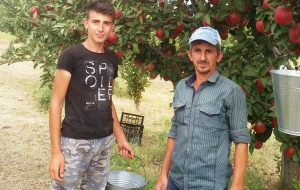 Elmada hasat zamanı