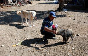 Yavru yabani domuz, hayatını değiştirdi